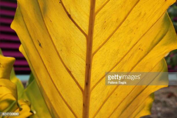 Big leaves of various colours help harvest the light French Guiana is haven for plants and animals with ninety percent of the area under tropical...