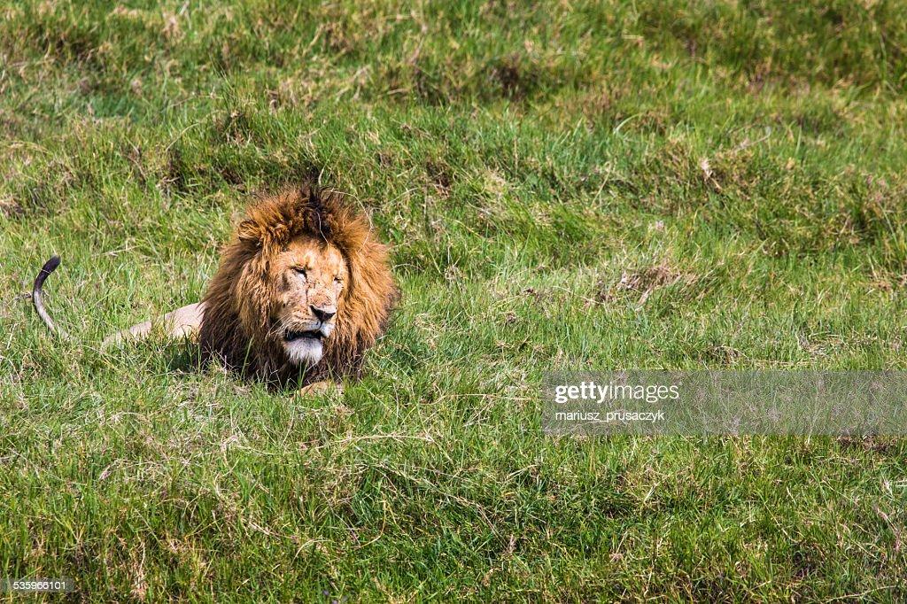 Big Lion in Masai Mara, Kenya. : Stock Photo