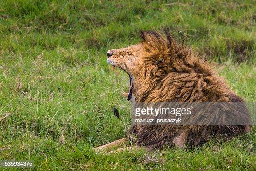 Big Lion showing his dangerous teeth : Stock Photo