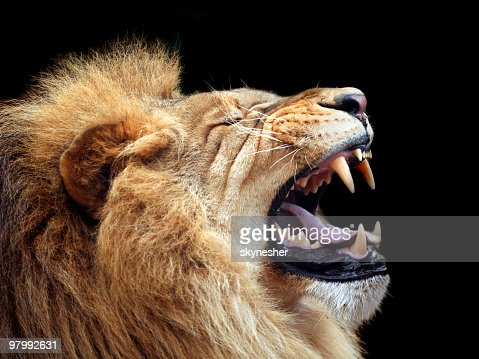 Big lion showing who is the king (focus on teeth)
