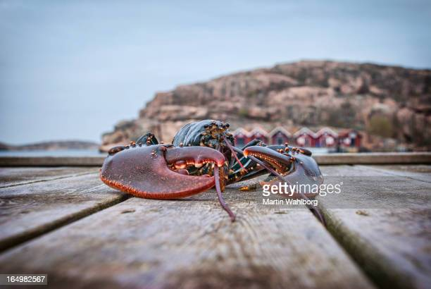 Big lobster on a wooden jetty.