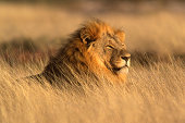 Big male African lion (Panthera leo) lying in the grass, Etosha National Park, Namibia, southern Africa