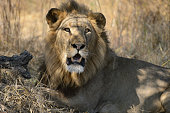 Big male Lion looking at camera