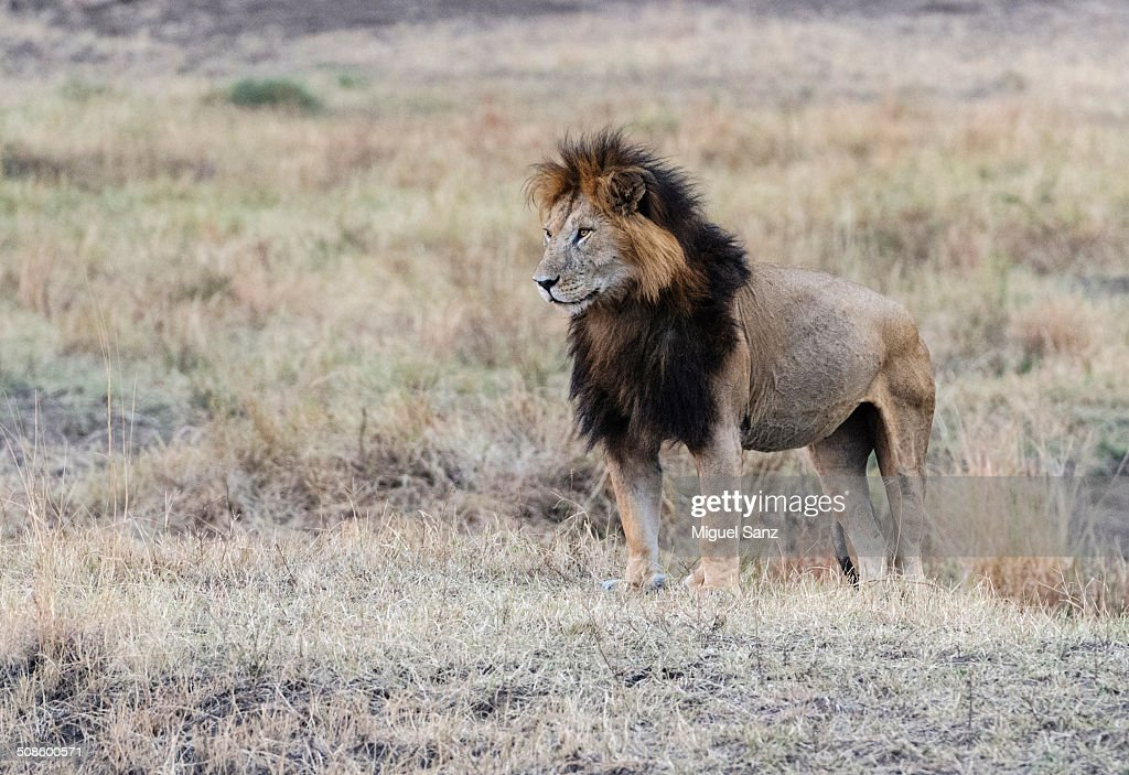 Big male lion : Foto de stock