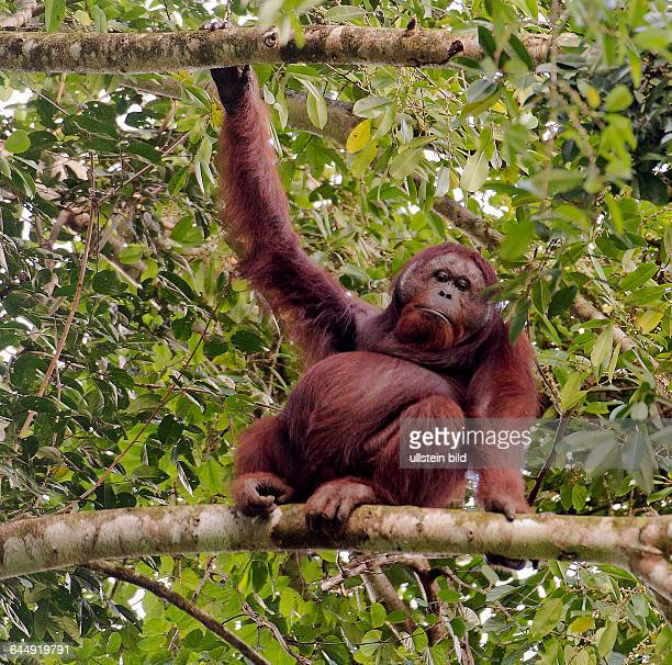 Big male orangutan in the canopy of the raiforest in Danum Valley Sabah Borneo