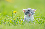 A small grey, white and orange kitten is outside in the grass alone. In this frame the cat is looking curious and giving lots of effort to get out a big meow. In this frame the kitten is sitting next