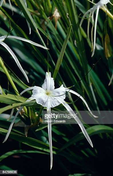 The delicate Crinum flower also known as the Swamp Lily or Spider Lily