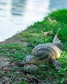 Big monitor lizard resting on riverbank, nature animal background