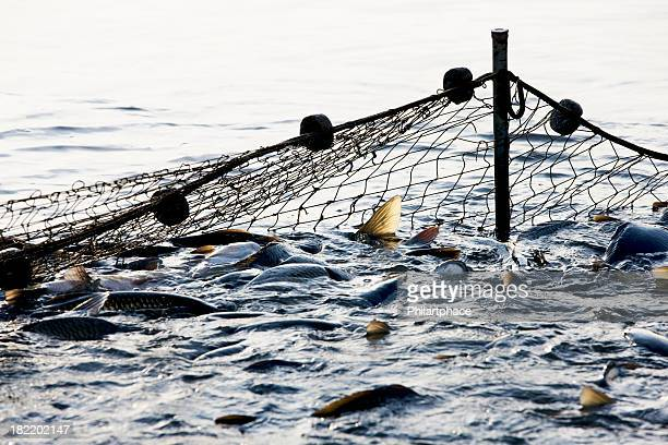 Big net thrown in the ocean capturing lots of fish