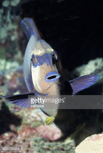 Unicorn fish stock fotos und bilder getty images for Big nose fish