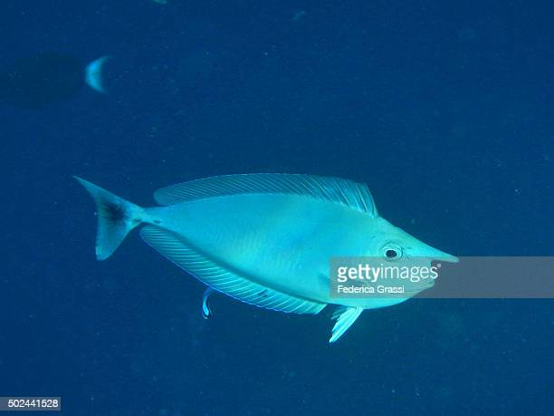 Big Nose Unicornfish