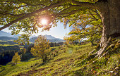 big old beech tree in autumn with sunset and sunbeams over alps mountains in Bavaria, Germany