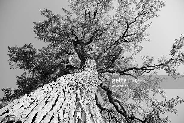 Big old elm tree seen from below