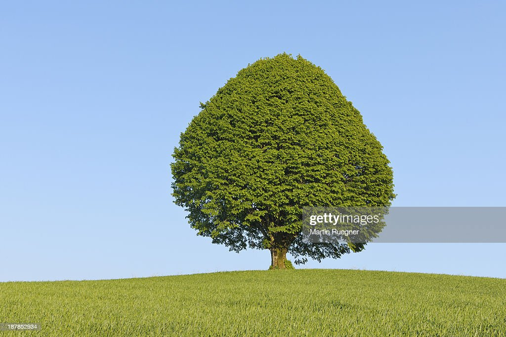 Big old lime tree in meadow. : Stock Photo