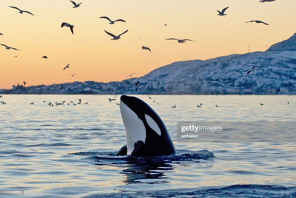 Big Orca Sunset Spyhop : Stock Photo