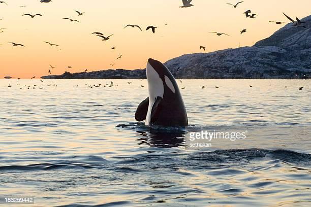 Großen Orkas Sonnenuntergang Spyhop