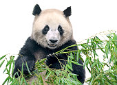 Isolated panda. Big panda bear holding a bunch of bamboo branches with leaves isolated on white background