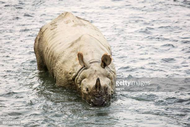 Big rhino in a river in Chitwan Park, Nepal