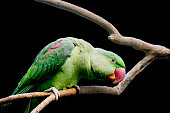 Alexandrian parrot is distinguished by bright green, herbal color and crimson spots on the wings, as well as a powerful red beak. India, Iran, Pakistan, Laos, Vietnam – countries, on territory which s