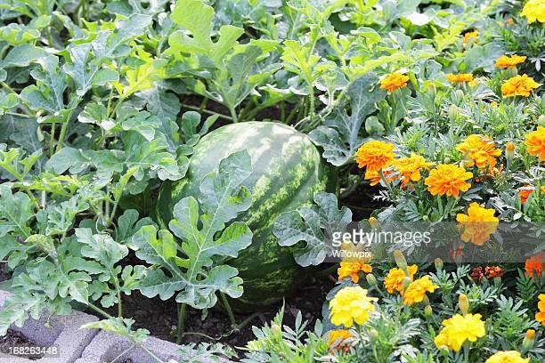 Big Ripe Watermelon (Citrullus lanatus) in a Summer Garden