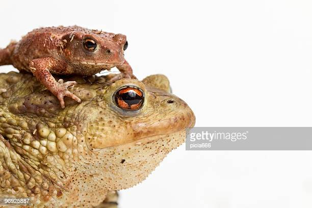 Big toad and small one
