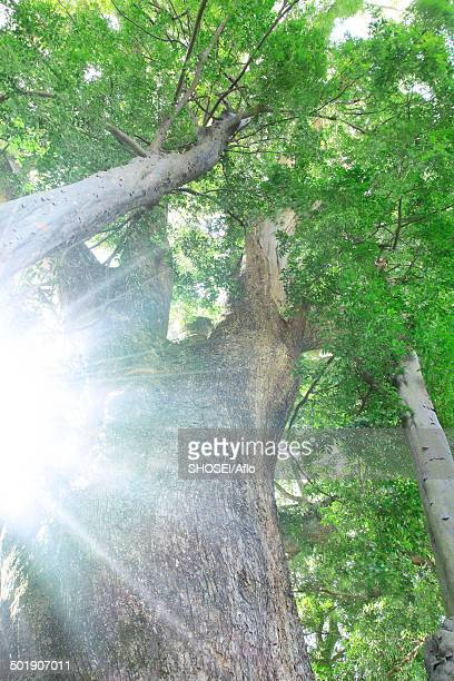 Big tree and foliage