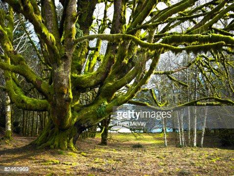 Big tree in landscape : Stock Photo