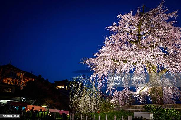 Big tree of weeping cherry blossom in the night