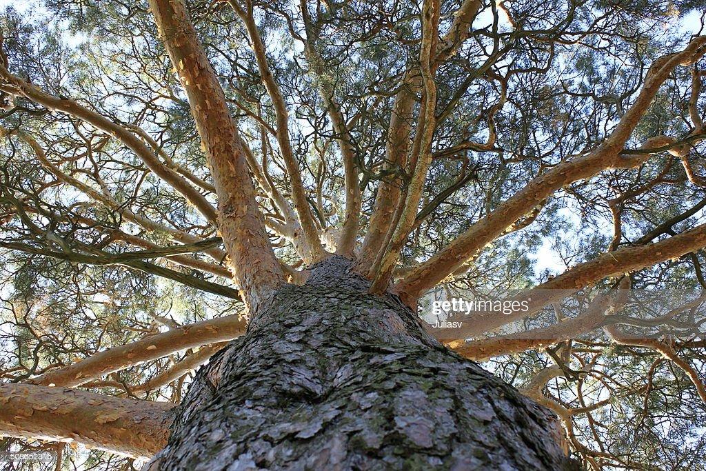big tree : Stock Photo
