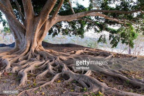 big tree root : Stock Photo