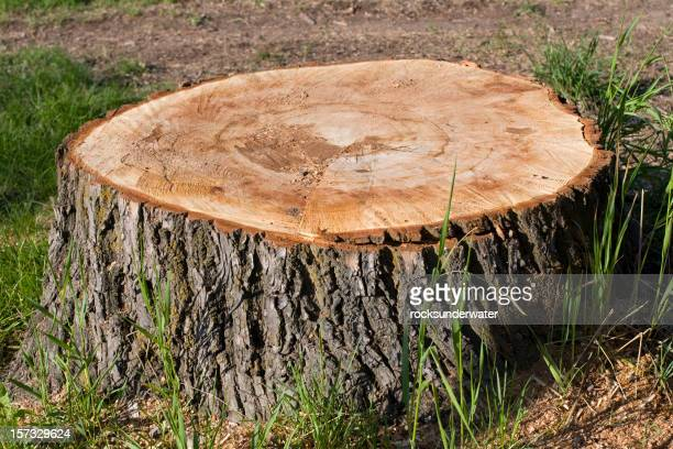 Big tree Stump
