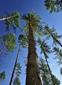 Big trees near Dunkeld, Scotland