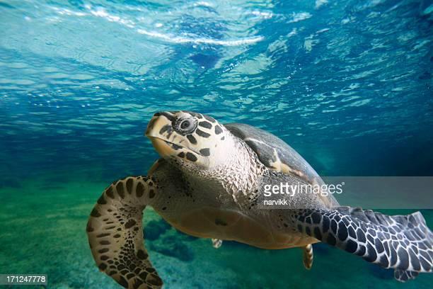 Große Schildkröte floating in den See