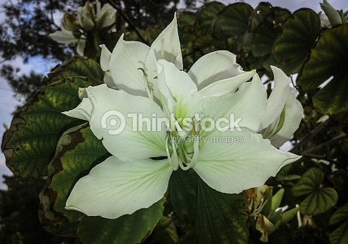 Big White Flowers On A Small Tree Stock Photo Thinkstock