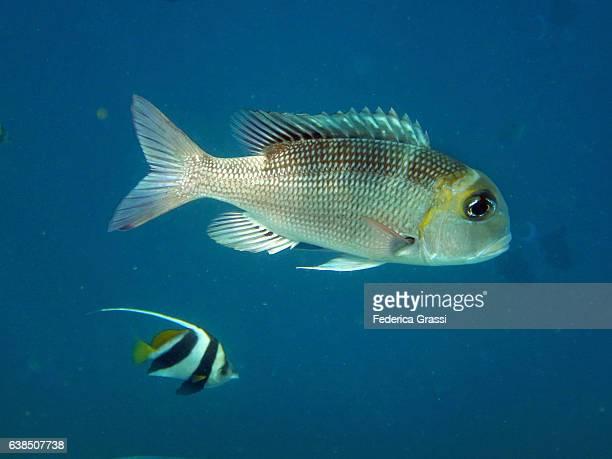 Bigeye Emperor Fish (Monotaxis grandoculis)