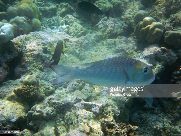Bigeye Emperor Fish (Monotaxis grandoculos)
