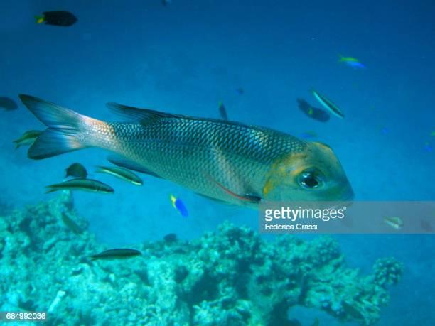 Bigeye Emperor Fish