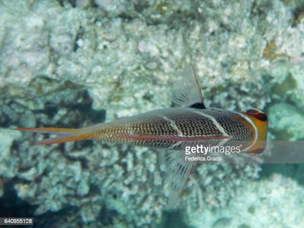 Bigeye Emperor (Monotaxis Grandoculos)
