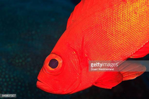 Bigeye, Tukang Besi/Wakatobi Archilpelago Marine Preserve, South Sulawesi, Indonesia