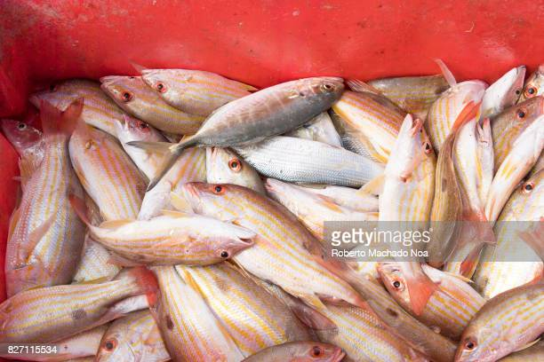 Bigeye Yellow Snapper caught by fishermen They are inside a red crate