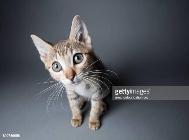 Big eyed-Tabby kattunge