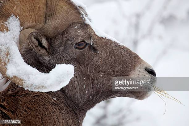 Bighorn ram eating with snow covered horns, Colorado