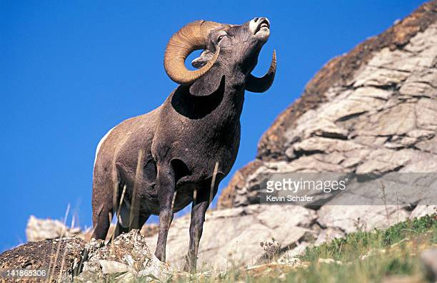 Bighorn Ram sniffing air for female sexual scent