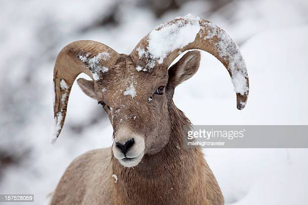 Bighorn ram with snow covered horns, Colorado