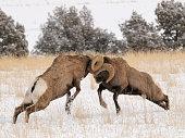 Big Horn Rams butt heads to show dominance near Corwin Springs, Montana