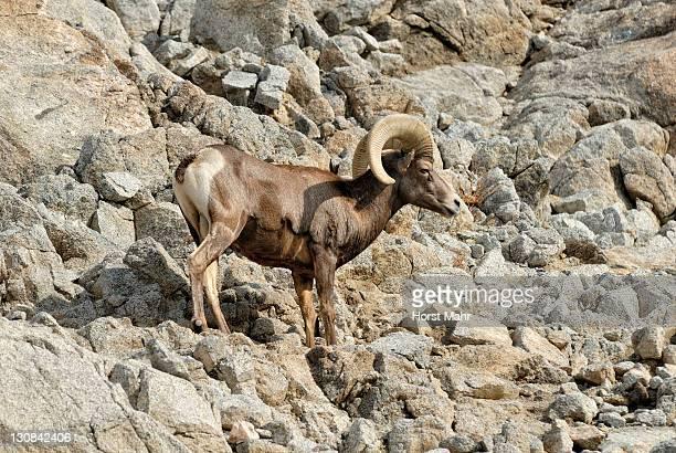 Bighorn sheep (Ovis canadensis), Borrego Palm Canyon, Anza Borrega Desert State Park, Borrego Springs, Southern California, USA