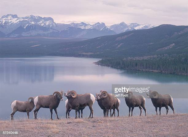 Bighorn sheep exhibit rutting behavior. Rams stand on a lake shore with mountains in the background. Ovis canadensis. Talbot Lake, Jasper National Park, Canada.