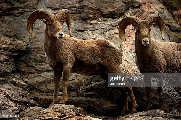 Bighorn sheep foraging in Clear Creek Canyon near Golden February 14 2015 Golden CO