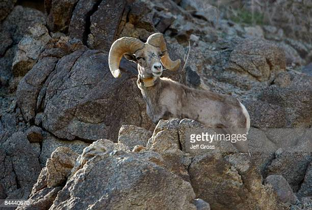 A bighorn sheep is seen on the rocks near the 16th hole during the fourth round of the Bob Hope Chrysler Classic at the Silver Rock Resort on January...