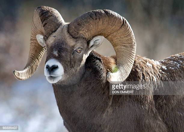 A Bighorn Sheep near the road between Banff and Lake Louise November 23 2009 AFP PHOTO DON EMMERT